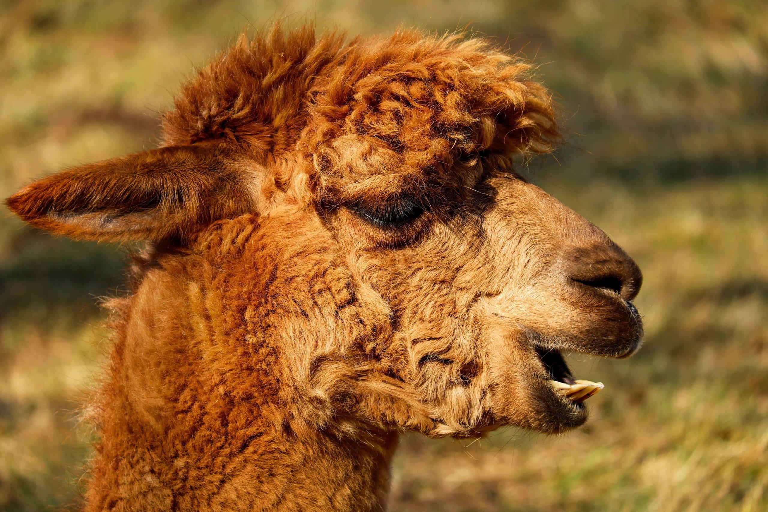 alpaca-2214650