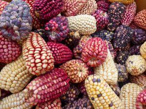 corn-43314