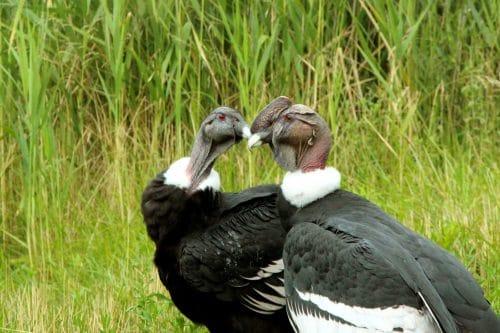 couple de condor