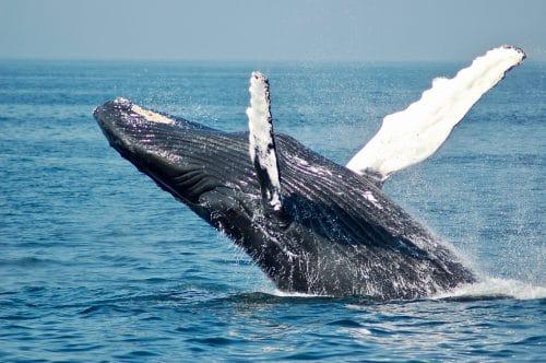 Baleine du Costa Rica