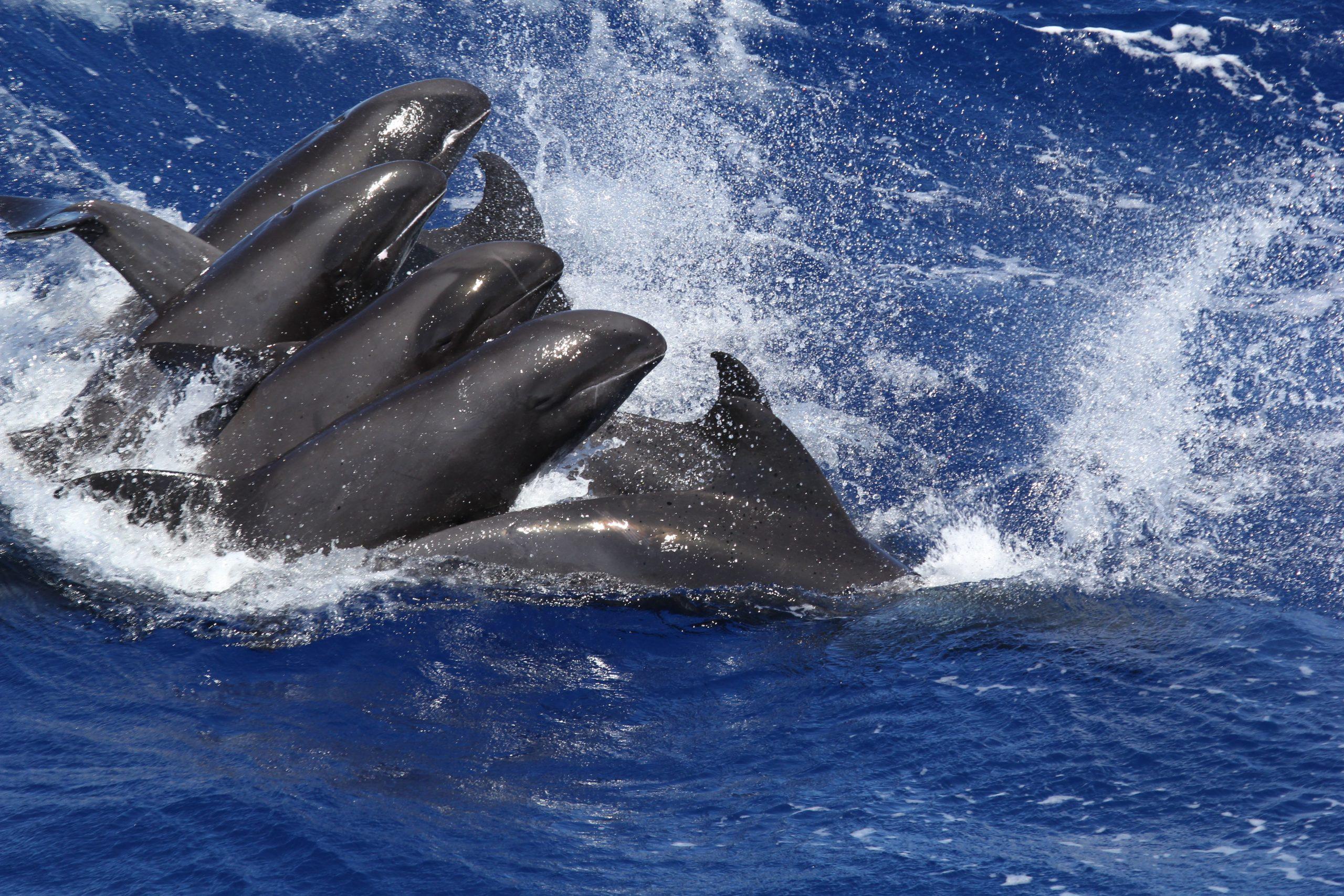 baleine pilote