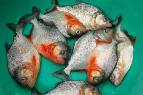 peche de piranha