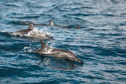 dauphin au Costa Rica