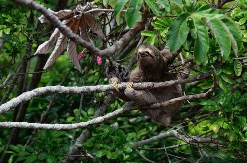 paresseux a gorge brune