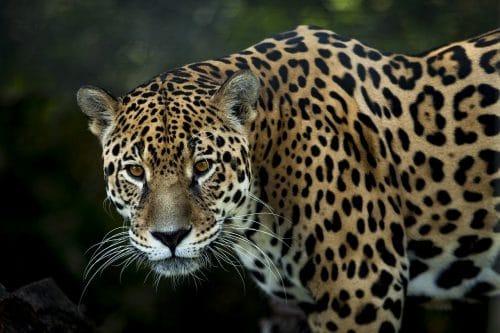 jaguar du Costa Rica