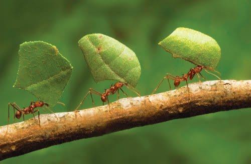 fourmis coupe feuille