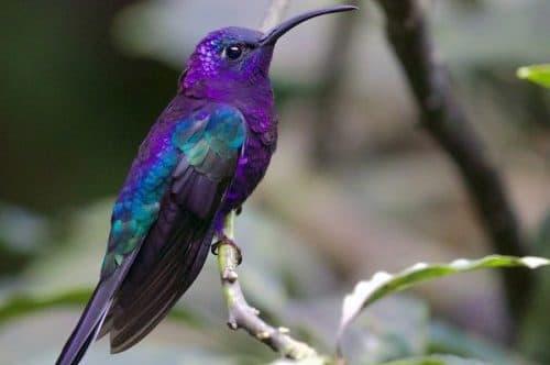 colibri violet