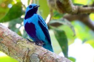 cotinga turquoise