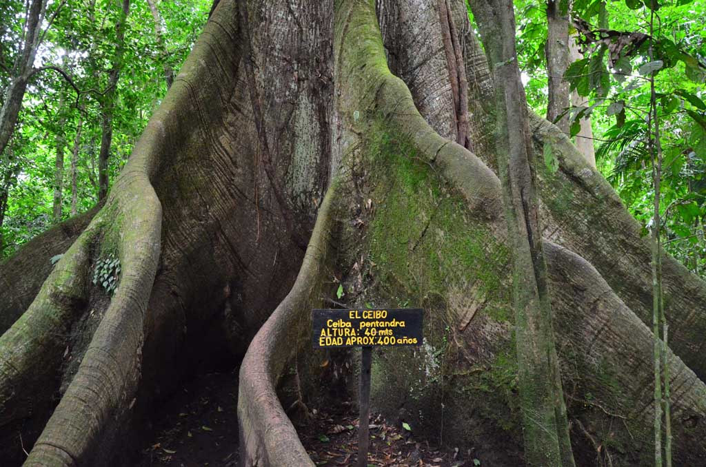 arbre centenaire Arenal