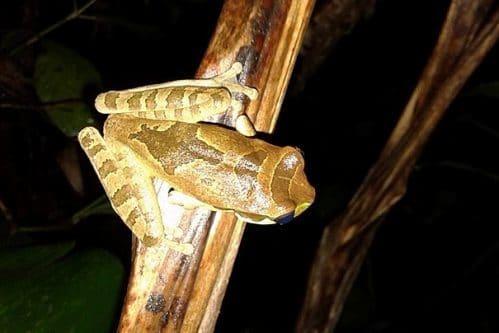 Les grenouilles et les crapauds au Costa Rica