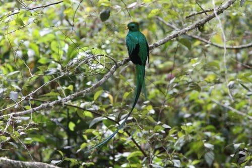 quetzal sur une branche